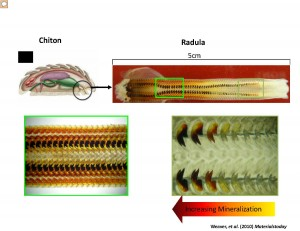 A series of images that show the teeth of the chiton. Credit: UC Riverside