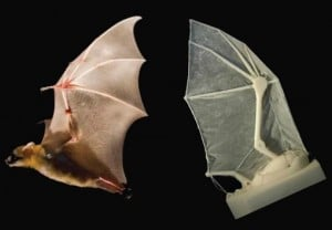 Wing of bat in life and lab: A robotic bat wing lets researchers measure forces, joint movements, and flight parameters — and learn more about how the real thing operates in nature. Credit: Breuer and Swartz labs/Brown University