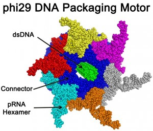 Scientists have cracked a 35-year-old mystery about the workings of the natural motors that are models for development of a futuristic genre of synthetic nanomotors that pump therapeutic DNA, RNA or drugs into individual diseased cells.Credit: Zhengyi Zhao