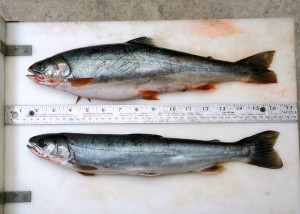 Although the same length, a specimen of Dolly Varden collected in August when salmon eggs are available weighs 50 percent more than a specimen from June when there is no egg subsidy. Credit: M Bond/U of Washington