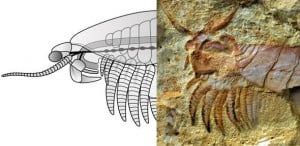 Chenjiangocaris kunmingensis arthropod from the early Cambrian Xiaoshioba biota and a reconstruction. Credit: Yie Jang and Javier Ortega-Hernández