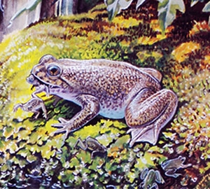 An artist's impression of the gastric-brooding frog. Artwork: Peter Schouten