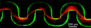 Over a period of about 40 hours, bacterial cells (green) flowed through a channel, forming a green biofilm on the walls. Over the next ten hours, researchers sent red bacterial cells through the channel. The red cells became stuck in the sticky biofilm and began to form thin red streamers. Once stuck, these streamers in turn trapped additional cells, leading to rapid clogging. (Image source: Knut Drescher)
