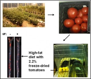 Study with genetically engineered tomatoes