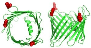 The VDAC3 mitochondrial pore is ubiquitylated on 3 lysine residues, shown in red, on the cytoplasmic surface on mitocohndria. The membrane protein makes a channel through which molecules can be transported. Ubiquitylation could potentially affect this trafficking. Image courtesy of the Harper Lab.