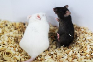 Intruder alert! The black mouse is being placed in the white mouse's territory for five minutes, which causes the stress levels of the incumbent white mouse to rise. © MPI for Psychiatry