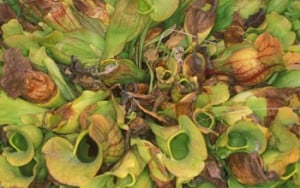 In scientists' eyes, each leaf of the northern pitcher plant is a small ecosystem. Credit: Aaron Ellison