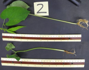 A bean plant treated with hydrogen sulfide (top) is substantially bigger at two weeks after gestation than the control plant (bottom) that was untreated. Credit: Frederick Dooley