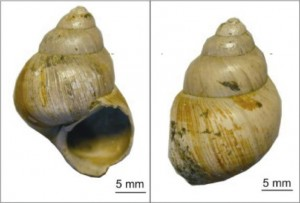 Researchers from the University of Michigan, the University of Connecticut and elsewhere analyzed fossilized shells of the freshwater snail Viviparus lentus from the Hampshire Basin, United Kingdom. They used clumped-isotope thermometry to estimate land temperatures during the Eocence-Oligocene transition, about 34 million years ago. Photo courtesy of Michael Hren.