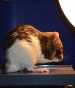 Rats exposed to less light during the day were more likely to explore the open end of an elevated maze, a behavioral test showing they were less anxious. Credit: Davide Dulcis and Pouya Jamshidi, UC San Diego