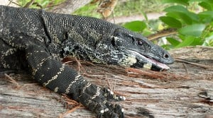 The native lace monitor competes with the invasive fox for the same food, and is not faring well.