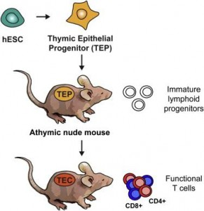 UCSF researchers generated thymus cells (TEPs) from human embryonic stem cells (hESCs). When transplanted into a type of mouse lacking a thymus or functional immune system, these cells further mature into thymic cells (TECs) that support the development of white blood cells that proliferate, retrain the immune system and carry out immune responses. The achievement raises hope that thymus tissue might be used to prevent transplant rejection and to treat immunodeficiency diseases.