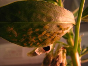 aphid_on_bean_IMG_2501_rdax_800x600