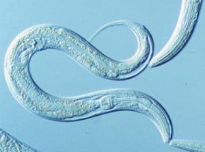 A tumor supressor gene found in the common laboratory nematode, C. elegans, has been shown to not only shut down cancerous cell division but also to fend off stress, according to a new University of Colorado Boulder study.