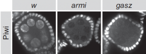 These three images show an egg chamber in a fly ovary.  The image at far left is the normal state with transposon control operative; the six circular areas are fly ovary nuclei, tagged to reflect the presence of the Piwi protein. Piwi is absent in the middle and right images, in which, respectively, genes called armi and gasz are knocked down.  These are two of the genes found by the Hannon lab to be essential for transposon control in the female germline. When the genes are knocked down and Piwi is absent, the door is opened to transposon activation.