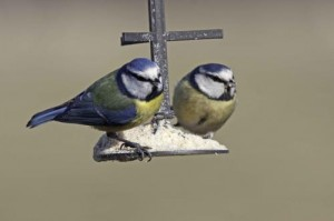 Two blue tits are shown at a fat feeder in winter. Credit: John Harding/BTO