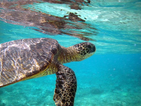 A green sea turtle glides through open water near the Hawaiian Islands. Credit: Chris Pincetich/Marine Photobank.