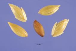 A new variety of canary seeds bred specifically for human consumption qualify as a gluten-free cereal that would be ideal for people with celiac disease. Credit: Steve Hurst, USDA-NRCS PLANTS Database
