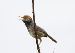 A male Cambodian tailorbird, a bird only recently discovered by scientists withing the city limits of Phnom Penh. Credit: Ashish John/WCS