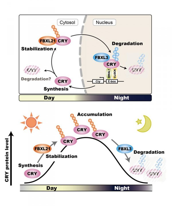 In the daytime, FBXL21 stabilizes CRY proteins and contributes to the accumulation of CRY proteins in the cytosol. At nighttime, FBXL3 mediates CRY degradation in the nucleus, and CRY protein levels decrease. Stabilization and degradation of CRY protein by two related F-box proteins regulates the stable oscillation of the circadian clock and behavioral rhythms. © Yoshitaka Fukada