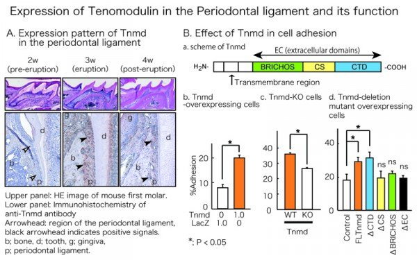 (A) Expression of Tenomodulin (Tnmd) in the periodontal ligament emerges in conjunction with tooth eruption. (B-a) Tnmd has three domains: BRICHOS domain, CS region, and CTD. (B-b) In vitro analysis of Tnmd-overexpressing cells revealed Tnmd-mediated enhancement of cell adhesion. (B-c) Disruption of Tnmd decreased cell adhesion in fibroblasts. (B-d) In the analysis of domain deletion mutants of Tnmd, BRICHOS domain and CS region canceled Tnmd-mediated enhancement of cell adhesion, suggesting their important roles in Tnmd function. © Yuske Komiyama.