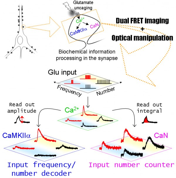 dFOMA imaging reveals unsuspected non-linearity in information processing governed by synaptic Ca2+-dependent enzymes, CaMKIIalpha and calcineurin, which are activated during synaptic plasticity and learning & memory