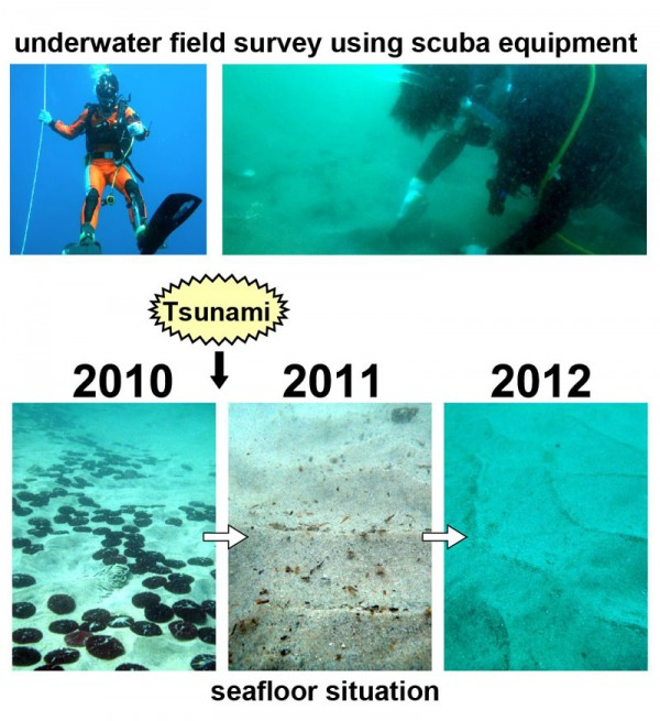 Photographs of underwater field survey (above) and seafloor at a sampling station in Funakoshi Bay, northeastern Japan (below). These photographs were taken before the tsunami (left, September 2010) and after the tsunami (middle, September 2011; right, September 2012), respectively. Note the complete demise of the sand dollar Scaphechinus mirabilis (black objects on seafloor) after the tsunami. The disc of this echinoderm is approximately 5 cm in diameter. Ripple spacing in middle and right photographs is 5–10 cm. © Koji SEIKE.