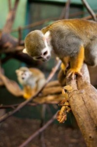 A squirrel monkey hunts a criptic insect while other monkeys watch. Credit: Current Biology, Claidiere et al.