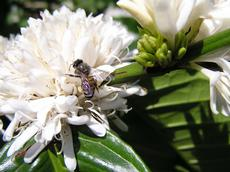 Bees of the Apis cerana (eastern honeybee) species pollinate coffee flowers. Farmers can increase the services of pollinating insects with particular cultivation methods. (Photo: J. Ghazoul / ETH Zurich)