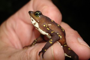 Harlequin frogs, such as this species (Atelopus glyphus), are highly susceptible to Bd, and many populations have become extinct.