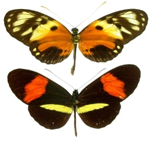 Diverging color patterns on the wings of Heliconius butterflies are an example of fitness-related traits that females have evolved to prefer. (Credit: Mathieu Joron)