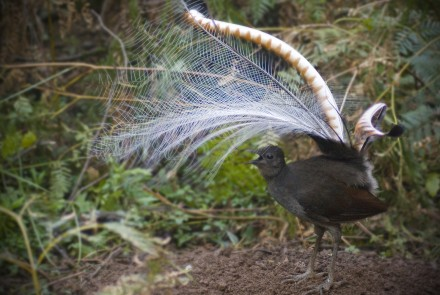 A male superb lyrebird shows off to the ladies. Photo by Alex Maisey.
