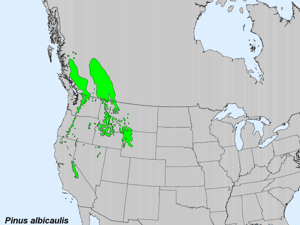 Current range of the whitebark pine tree: Will it soon be much smaller? Credit: Wikimedia Commons