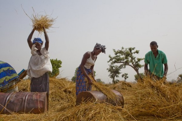 A group of local farmers thresh rice in a paddy field near Boiram village, Gambia.  The Participatory Integrated Watershed-Management Project (PIWAMP) has built dikes, roads and bridges in and around the lowlands swamp areas.  Improved access to rice fields could reduce women's travel times by at least two hours per day.