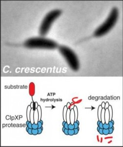 Caulobacter crescentus (above) generates radically different cell types upon division. The ClpXP protease (illustrated below) recognizes and destroys many protein substrates that allow Caulobacter to differentiate into these different cell types. New work identifying scores of new candidate substrates of ClpXP to reveal how protein degradation is critical to cell cycle progression and bacterial development could lead to new antibiotic targets. Credit: Peter Chien, UMass Amherst