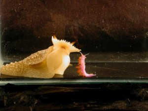 University of Illinois molecular and integrative physiology professor Rhanor Gillette and his team found that the predatory sea slug, Pleurobranchaea californica (left) shows avoidance behavior when confronted with Flabellina iodinea (right). This avoidance behavior is much more complex than what Pleurobranchaea, which has a simple nervous system, was thought to be capable of having. Credit: Rhanor Gillette
