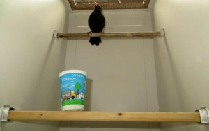 This image shows behavioral experiments on urban and forest-dwelling blackbirds. Urban blackbirds wait longer than their forest-born counterparts before approaching a new object (in this case, a plastic cup). Credit: MPI for Ornithology/Ana Catarina Miranda