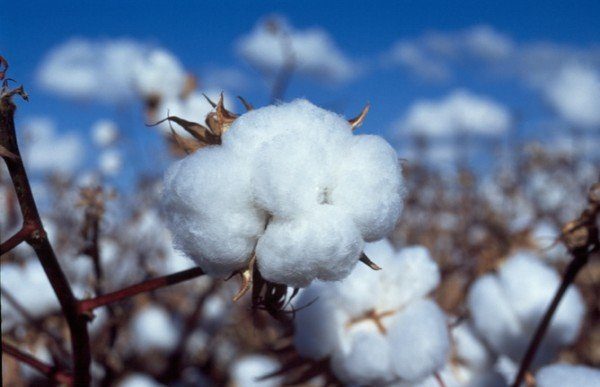 Cotton is under constant attacks from rapidly evolving pests. Credit: CSIRO