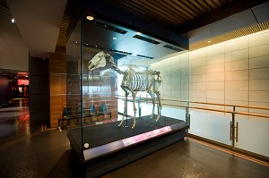Phar Lap's skeleton in the Museum of New Zealand Te Papa Tongarewa. Scientists are hoping to sequence its DNA. Credit: Michael Hall, courtesy of the Museum of New Zealand Te Papa Tongarewa