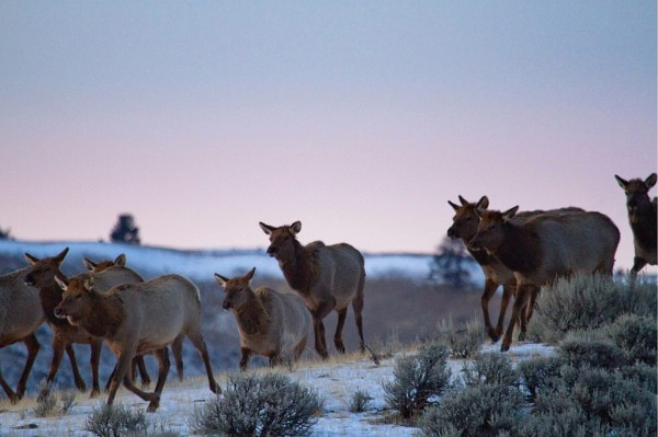 Elk traveling across winter range in the northwestern Greater Yellowstone Ecosystem near the Gardiner River in Yellowstone National Park, 2008. Photographer: Jonny Armstrong , Wyoming Cooperative Wildlife Research Unit/Univ. of Wyoming