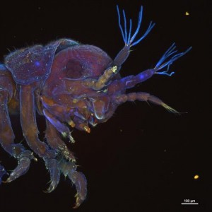 This shows Limnoria -- the wood-eating gribble. Credit: Laura Michie, Portsmouth University, with assistance from Alex Ball from the Natural History Museum