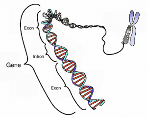 This image shows the coding region in a segment of eukaryotic DNA. Credit: National Human Genome Research Institute