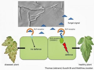 Together with several partners, scientists from Wageningen UR (University & Research centre) have discovered that RLP-receptors located at the outside of plant cells and playing an important role in plant defence, join forces with other proteins present at the same location to warn the plant when a fungus attacks. This finally answers a question that has been haunting several plant scientists around the world for many years. The findings provide new leads for breeding crops with an improved defence against diseases caused by pathogenic microbes. Plants are constantly challenged by pathogens such as fungi and bacteria. They almost always succeed in warding off pathogens by using special receptors, either present at the outside or inside of the plant cell, to identify the pathogen. The receptors located at the outside usually also have a domain that protrudes through the cell membrane into the cell. This is used to warn the cell and stimulate the plant cell to take action. This generally results in a 'programmed cell death', ensuring that the fungus, for example, can no longer enter the cell and absorb nutrients. Although much is known about the defence system of plants, there are still quite some mysteries to be solved. For some time, for instance, we know about the existence of so-called RLK-receptors. These receptors are located at the cell membrane of the plant cells and have a domain on both the inside and the outside of the cell. Whenever they receive a signal on the outside - from a fungus, for example - the part on the inside of the cell (the kinase) activates the signal to mount a defence response against the invading fungus. In addition to RLK-receptors there are also RLP-receptors. These are also located at the cell membrane, but they do not have a kinase domain on the inside of the cell to pass on signals. For over twenty years, scientists have been mystified as to how these receptors manage to warn the plant to enable it to protect itself against pathogen