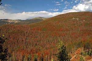 Bare branches and rust-colored foliage denote dead and dying trees in the Colorado's Front Range. Credit: Daniel Griffin