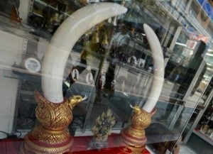 "Ivory tusks are on display at an antique and ivory store in Bangkok on February 28, 2013. The Philippines said Tuesday it would destroy five tonnes of confiscated elephant tusks as part of a global campaign to raise awareness against the illegal trade of so-called ""blood ivories""."