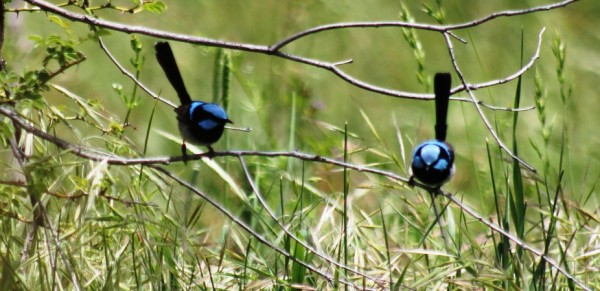 They aren't just pretty birdies – superb fairy-wrens teach each other to identify and fend off parasitic species such as cuckoos. Credit: William Feeney