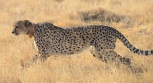 Wild cheetah with an RVC Wildlife Collar. Credit: Structure & Motion Lab, RVC.