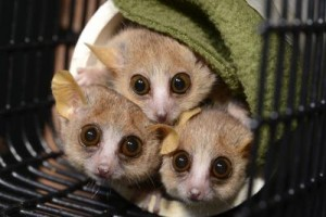 Three mouse lemurs (Microcebus murinus) peer cautiously from their nesting tube at the sound of an approaching Duke Lemur Center technician who might just be carrying snacks. Credit: David Haring, Duke Lemur Center