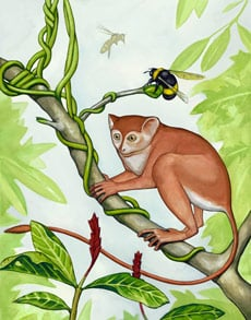 An artist's conception of what the  newly discovered primate, Archicebus  achilles, might have looked like.  Credit: Mat Severson,  Northern Illinois University