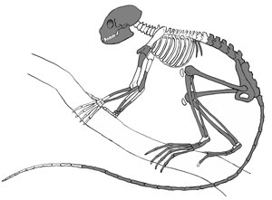 An artist's illustration of the skeleton of  Archicebus achilles. The darkened bones represent the  known bony elements of the skeleton found in China. Credit: Mat Severson, Northern Illinois University